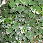 Декоративное растение циссус
