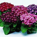 Комнатные цветы: цинерария гибридная