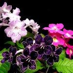Комнатные растения: стрептокарпус