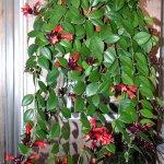 Комнатные растения: эсхинантус