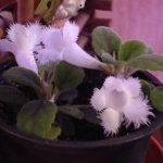 Гвоздикоцветковая эписция, условия содержания