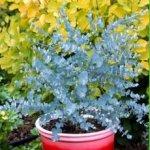 Эвкалипт - комнатное растение
