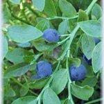 Лекарственные растения для лечения диабета